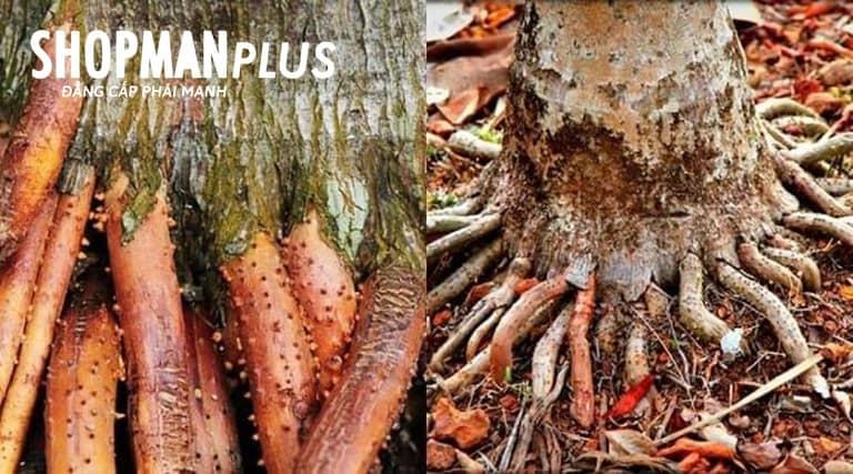 Cách trị xuất tinh sớm bằng rễ cau treo